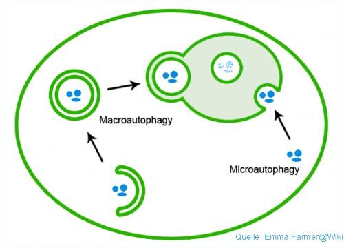 Autophagie